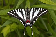 Image result for Zebra Swallowtail