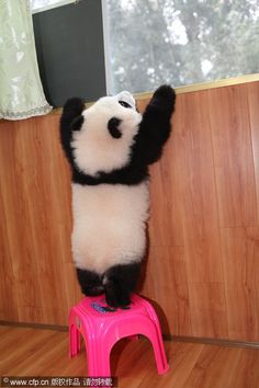 Panda cub stands on a stool
