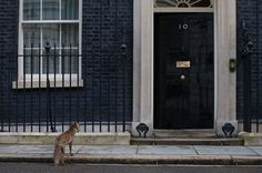 A fox pauses as it passes the door to 10 Downing Street shortly before a cabinet meeting