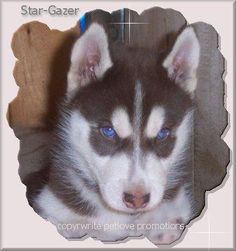 Beautiful Eyes - red siberian husky blue eyes