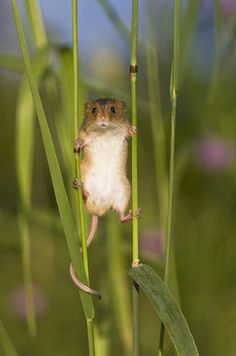 Harvest Mouse, showing ability to climb between two stalks of wheat, animal, harvest, mouse, alsace, france uploaded by Happy Jack