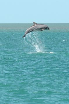 Jumping dolphin-2 by johnaalex on Flickr.