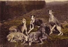 Vintage greyhound photo 1920′s- 1930′s.