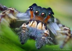 Portrait of an adult male jumping spider...he's so handsome isn't he?