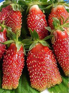 Земклуника. Самая популярная ягода на наших участках – садовая земляника, или, как мы ее называем, клубника. Реже выращивают настоящую клубнику, или землянику мускатную, с мелкими душистыми ягодами. Ученые давно пытались скрестить эти растения, надеясь соединить крупноплодность первой с ароматом и стойкостью второй. В 80-х годах ХХ века Татьяне Кантор (ВСТИСП, Москва, ул. Загорьевская) удалось получить ряд крупноплодных сортов новой культуры, применяя особый метод гибридизации – химический…