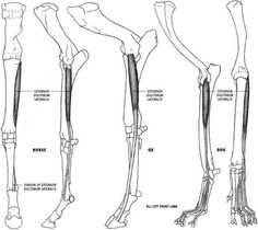Supinator Muscle Dog