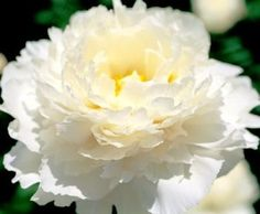 marshmallow puff - What inner child doesn't love fluffy marshmallows? These peonies are quite showy with an elegant overlay and a lightly, sugary sweet fragrance. White Peonies, White Flowers, Beautiful Flowers, Song Sparrow, Peony Flower, Ranunculus, Flower Delivery, Garden Landscaping, Landscaping Design
