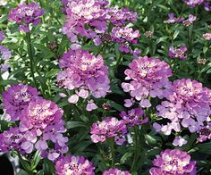 Candytuft  'Absolutely Amethyst'