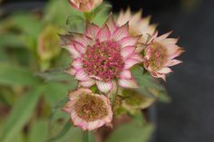Astrantia major 'Burgundy Manor'