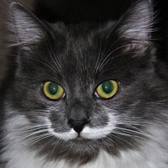 Hamilton the Mustached San Francisco Hipster Cat By Rusty Blazenhoff on June 11, 2013  Hamilton (the Hipster Cat) is a San Francisco-based feline that was born with the markings of a rockin' white mustache
