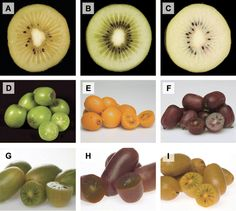 Fruit of the Actinidia genotypes used in this study. (A) A. chinensis MP161, (B) A. chinensis MP165, (C) A. chinensis MP214, (D) A. macrosperma mature, (E) A. macrosperma ripe, (F), A. melanandra. Progeny from a cross between A. macrosperma×A. melanandra: (G) MaMe1, (H) MaMe2, and (I) MaMe3