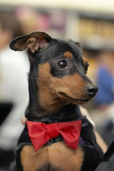 Fashionable min pin by schoolio, via Flickr