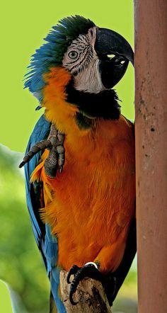 macaw parrot by joybidge, via Flickr