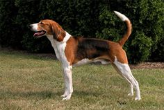 The American foxhound is the Virginia state dog.