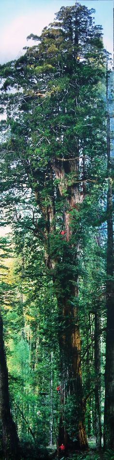 Une photo choc qui deviendra l'espace d'un été, le totem de La Gacilly. Une image de douze mètres de haut en hommage au plus grand arbre du monde le séquoia. frustré de ne pouvoir réalisé un cliché qui rende honneur à ces géants, MICHAEL NICHOLS a fait mettre au point un appareil photo gyroscopiques équipé de trois objectifs afin de saisir l'intégralité de l'arbre?