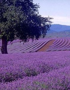 Endless dreams between lavender ……. ✖️ More pins like this at FOSTERGI … – Growing Lavender Gardening - Growing Plants at Home Lavender Cottage, Lavender Garden, Lavender Blue, Lavender Fields, Lavender Flowers, Love Flowers, Purple Flowers, Beautiful Flowers, Lavander