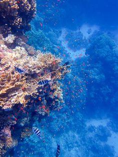 Egyiptomi búvárparadicsom  | A tenger vize Egyiptomban olyan átlátszó, hogy akár már egy búvármaszk és légzőcső segítségével számtalan színes korallt, és rengeteg elképesztő színű és formájú halat láthatnak a vállalkozó kedvűek.     | Ha Téged is érdekelnek a korallok, foglald le mihamarabb egyiptomi nyaralásod, kedvező áron:  https://utazasok.invia.hu/egyiptom/