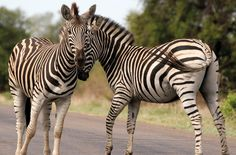 Zebra in Kruger National Park.  Travel to Africa with Nomad Adventure Tours on your next holiday.