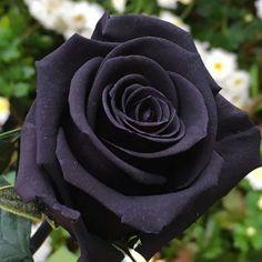 452 Mejores Imágenes De Flores Negras Del Destino En 2019 Black