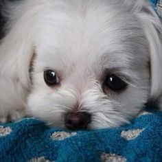 Maltese... what a babydoll.