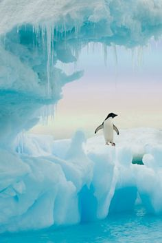 The smallest penguin found in the Antarctic, the ADELIE PENGUIN is found around Antarctica and on its islands. It builds its nest of stones on the rocky beaches, jealously guarding and often fighting over the best rocks.