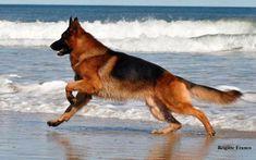 #German #Shepherd #Dog от the beach