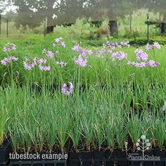 Tulbaghia violacea - society garlic Australian Plants Online Australian Plants, New Roots, Plants Online, Lilac Flowers, Ornamental Plants, Small Plants, Drought Tolerant, Container Plants