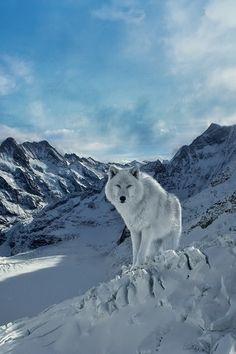 Winter wolf by Yasser Radwan