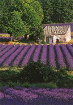 Lavender (Provence, France) | Flickr - Photo Sharing!