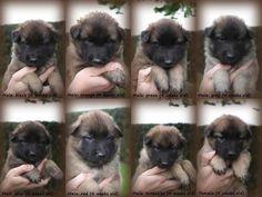 Puppies van Fantome