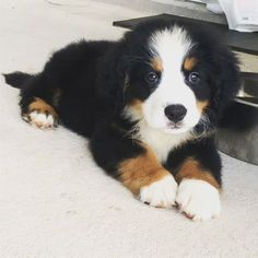 8 weeks old Bernese Mountain dog puppy and already has a mustache