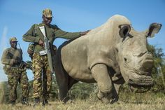 """Sudan, the last male northern white rhinoceros on Earth, pictured at Ol Pejeta Conservancy on June 25, 2015, in Laikipia County, Kenya. To deter poachers, Sudanhas 24/7 armed protection. The rhino's horn has <a href=""""http://www.huffingtonpost.com/2015/04/14/northern-white-rhino-sudan-armed-guard-kenya_n_7059682.html?1428996490"""">also been removed</a> as an added precaution."""