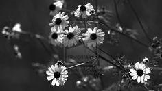 Wild daisies by RezzanAtakol.deviantart.com on @deviantART