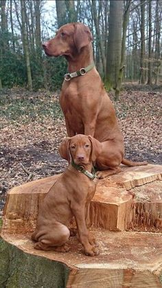 Vizsla mom and pup