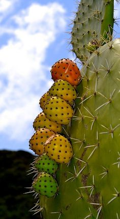 The Sabra Fruit (Cactus Candy) ~ The Term 'Sabra' Is Used For Jewish People Born In Israel