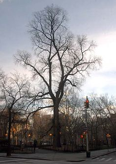 "Hangman's Elm, or simply ""The Hanging Tree"", is an English Elm located at the Northwest corner in Washington Square Park, in the New York City borough of Manhattan. It stands 110 feet (33.52 m) tall and has a diameter of 56 inches (1.42 m).    In 1989, the New York City Department of Parks and Recreation determined that this English Elm was 310 years old, making it the oldest known tree in Manhattan.     http://en.wikipedia.org/wiki/Hangman%27s_Elm"