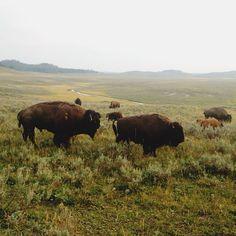 #vscocam_x_selects #wildlife #bison #vscocam