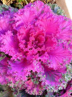 Everything Plants and Flowers: Ornamental Cabbage Original Cabbage Seeds, Cabbage Plant, Cabbage Flowers, Exotic Flowers, Amazing Flowers, Beautiful Flowers, Ornamental Cabbage, Ornamental Plants, Succulents In Containers