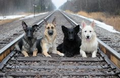 Zayda, Meg, Reba & Brinkley. This is the ultimate family pic!! Love German Shepherds!!