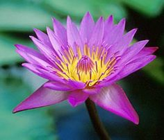 "10 PURPLE LOTUS Water Lily Pad Nymphaea Sp Pond Flower Seeds *Comb S/H by Seedville. $2.00. BLOOMS: Late Spring - Early Summer. The Lotus is surprisingly easy to grow! If you do not have a pond, you can grow them in tubs or barrels filled with half soil and half water. Lotus flowers are edible and are used as a garnish or for tea & wine. The Lotus also has medicinal & herbal uses.. PLANT HEIGHT:  48 - 72"" . . . PLANT SPACING:  24 - 36"". HARDINESS ZONE:  4 - 10 (and can be gr..."