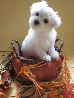 Adorable little Maltese posing in his little pumpkin basket! Celebrate the holiday season with us in style at your local Duane Reade.