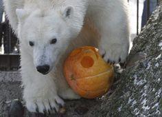 Bowling pumpkin for the polar bear?