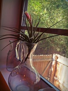 A blooming Jucunda air plant (tillandsia) #airplant #tillandsia