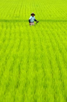Japanese rice fields (photography by yuenfat). That COLOR! Go Green, Green Colors, Green Rice, Fresh Green, Green Grass, Japanese Rice, Japanese Farmer, We Are The World, Japanese Culture