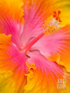 Pink and Yellow Hibiscus, San Francisco, California, USA Photographic Print by Julie Eggers at Art.com