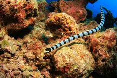 This species of sea snake is venomous.
