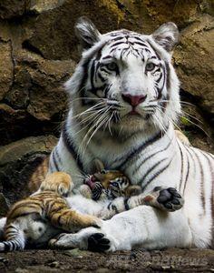 white tiger & cub