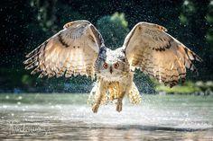 Owl, Birds, Animals, Color, Animales, Animaux, Owls, Colour, Bird