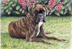 Boxer, drawing by Nicole Zeug, www.arts-and-dogs.de