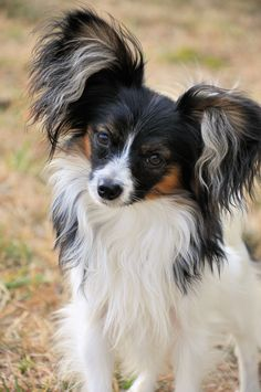 Road's End Papillons : You Ask: how to grow long earfringes on a papillon dog Papillon Dog Ear Fringing)